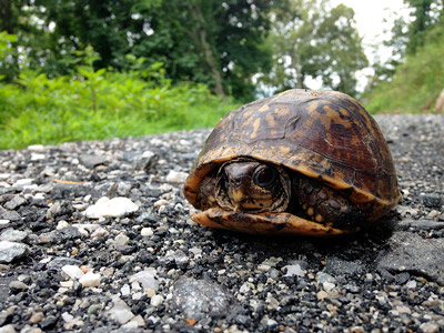 Eastern Box Turtle - Bike Park Resident